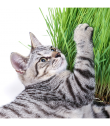 Tráva pro kočky - semena - 100 ks