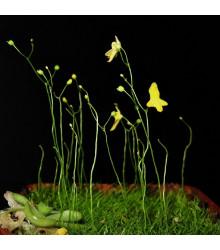 Bublinatka šídlovitá - Utricularia subulata - semena - 15 ks