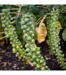 Kapusta růžičková Groninger - Brassica oleracea - semena - 50 ks