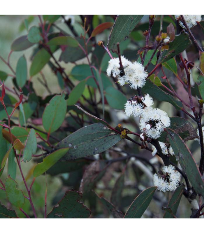 Eukalyptus Pauciflora - Eucalyptus pauciflora - semena - 8 ks