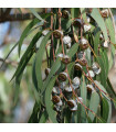 Eukalyptus globulus - Eucalyptus globulus - semena - 8 ks