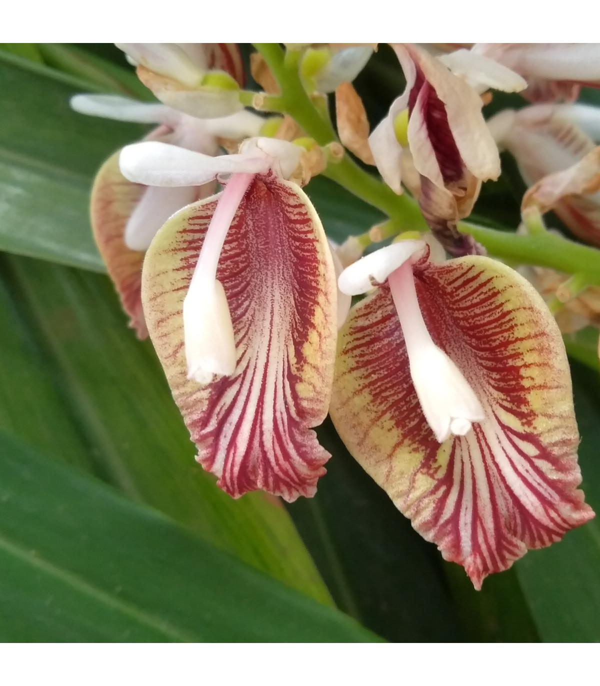 Kardamovník obecný - Elettaria cardamomum - semena - 5 ks