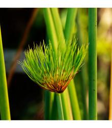 Papyrus - Cyperus papyrus - semena - 8 ks