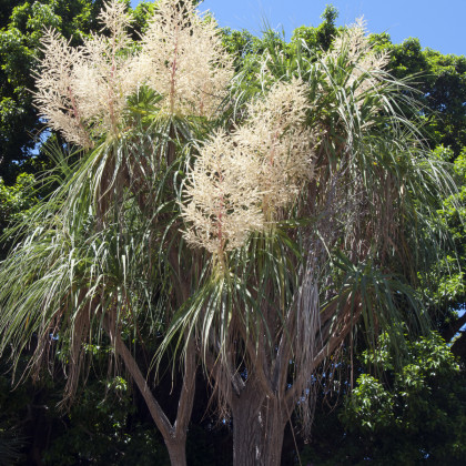 Nolina - Nolina longifolia - semena - 5 ks