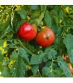BIO rajče Serrat F1 - Lycopersicon esculentum - bio semena - 5 ks