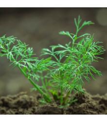 BIO Kopr vonný Hera - Anethum graveolens - bio semena - 1 g