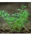 BIO Kopr vonný Hera - Anethum graveolens - bio semena - 2 g