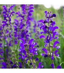 Šalvěj luční - Salvia pratensis - semena - 150 ks
