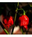 Chilli Trinidad Scorpion Moruga - Capsicum chinense - semena - 5 ks