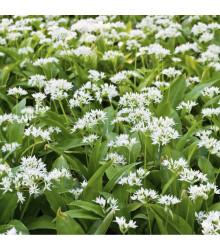 Medvědí česnek - Allium ursinum - cibuloviny - 3 ks
