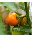 Rajče Wellington F1 - Solanum lycopersicum - semena - 7 ks
