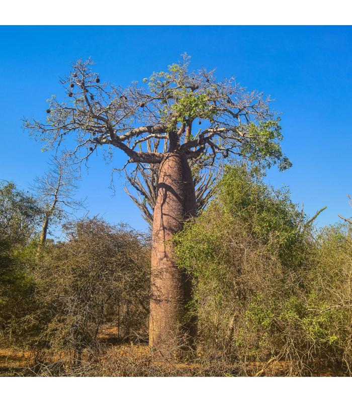 Baobab Fony - Adansonia fony - semena - 2 ks