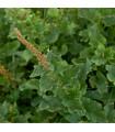 Merlík všedobr - Chenopodium henricus - semena - 400 ks