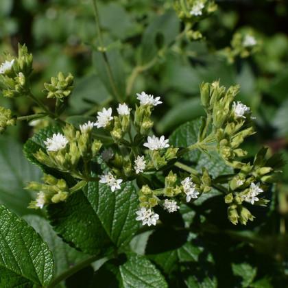 BIO stévie sladká - Stevia rebaudiana - bio semena - 12 ks
