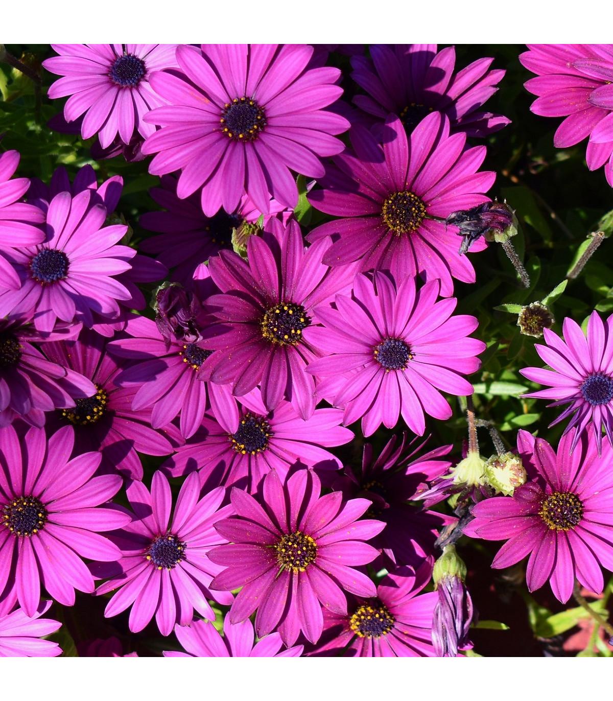 Paprskovka - kapská kopretina - Osteospermum eclonis asti mix - semena - 6 ks