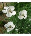 Mák bělokvětý - Papaver maculosum - semena - 100 ks