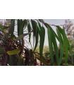 Eukalyptus Alba- semena- 9 ks