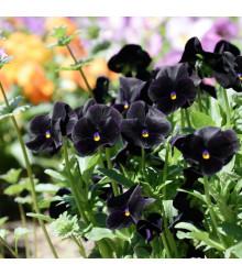 Maceška Mariposa Black F1 - černá - Viola wittrockiana - semena - 20 ks