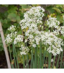 Pažitka čínská česneková Kobold - Allium tuberosum - semena - 130 ks
