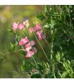 Hrachor vonný královský lososově růžový - Lathyrus odoratus - semena - 20 ks