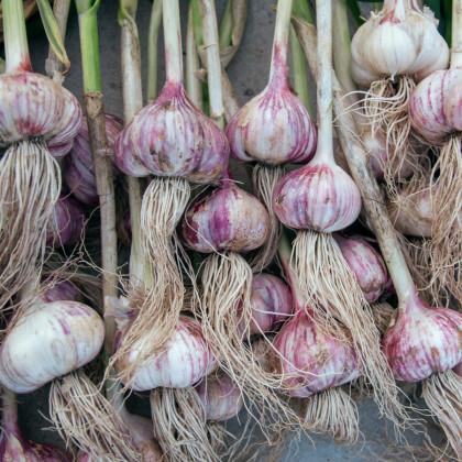 Sadbový česnek Topaz - Allium sativum - paličák - cibule česneku - 5 ks