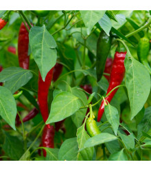 Chilli Thai hot culinary – Capsicum annuum – semena chilli – 6 ks