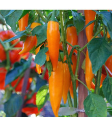 Chilli Bulharská mrkev – Capsicum annuum – semena chilli – 6 ks