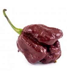 Chilli Trinidad scorpion moruga chocolate – Capsicum chinense – semena chilli – 5 ks