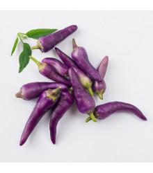 Chilli Jalapeno fialové – Capsicum annuum – semena chilli – 6 ks