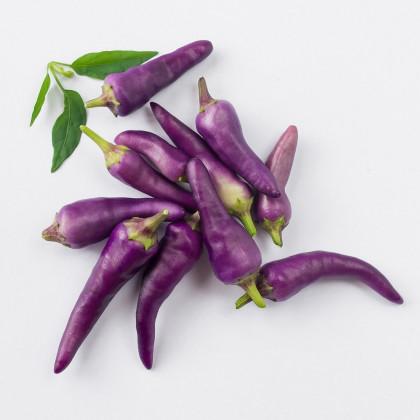 Chilli Jalapeno fialové - Capsicum annuum - semena chilli - 6 ks