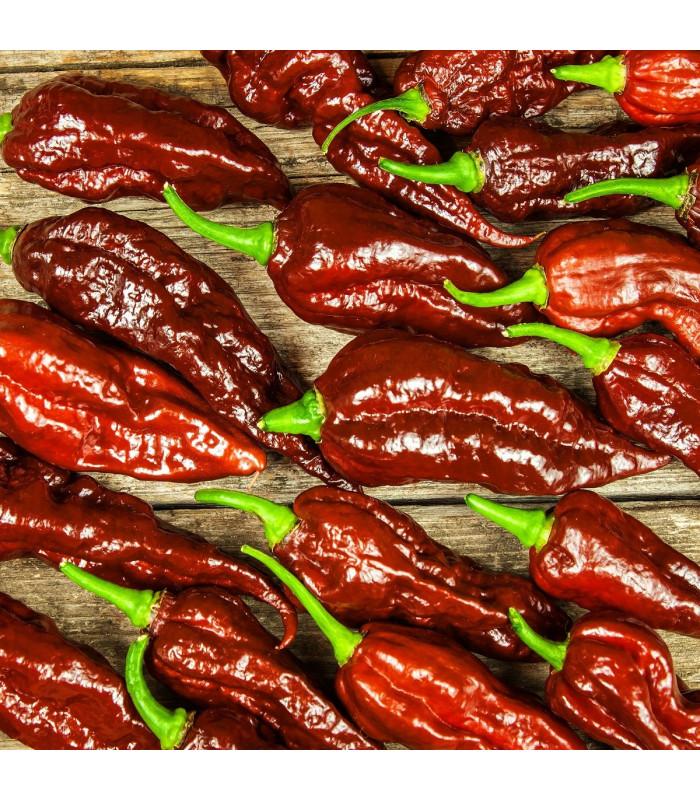 Chilli Bhut Jolokia Chocolate - Capsicum chinense - semena - 5 ks