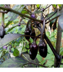 Chilli Purple Tiger - Capsicum annuum - semena - 6 ks