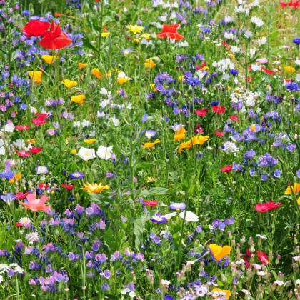 Divoké polní květy - semena - směs letniček - 0,9 g