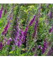 Trvalky rozkvetlá lesní louka směs - semena - 0,9 g
