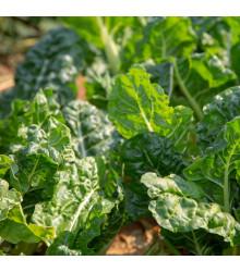 BIO Špenát setý Matador - Spinacia oleracea - bio semena - 1 g
