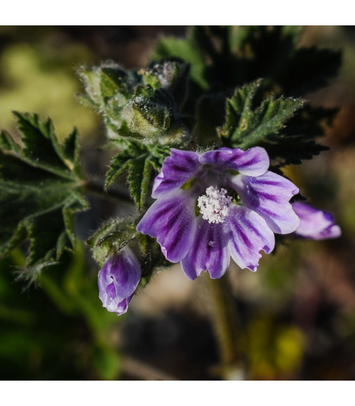 Sléz pižmový - Malva sylvestris - semena - 10 ks