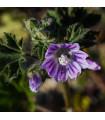 Sléz lesní - Malva sylvestris - semena - 10 ks