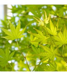 Javor japonský zelený - Acer palmatum - semena - 5 ks