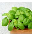 BIO bazalka zelená - Ocimum basilicum - bio semena - 200 ks