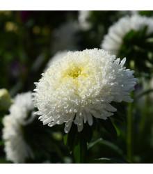 Astra čínská vysoká Princess bílá - Callistephus chinensis - semena - 50 ks