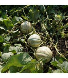 Meloun Cukrový Stellio F1 - Cucumis melo - semena - 6 ks