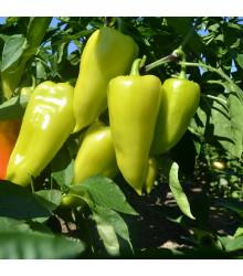 Paprika zeleninová PCR – Capsicum annuum – semena chilli – 80 ks