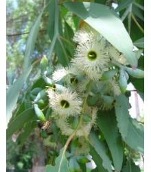 Eukalyptus Alba - Eucalyptus Alba - semena - 9 ks