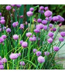 Pažitka pobřežní Staro - Allium schoenoprasum - semena - 40 ks