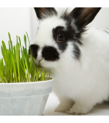 More about Tráva pro králíky - semena - 15 g