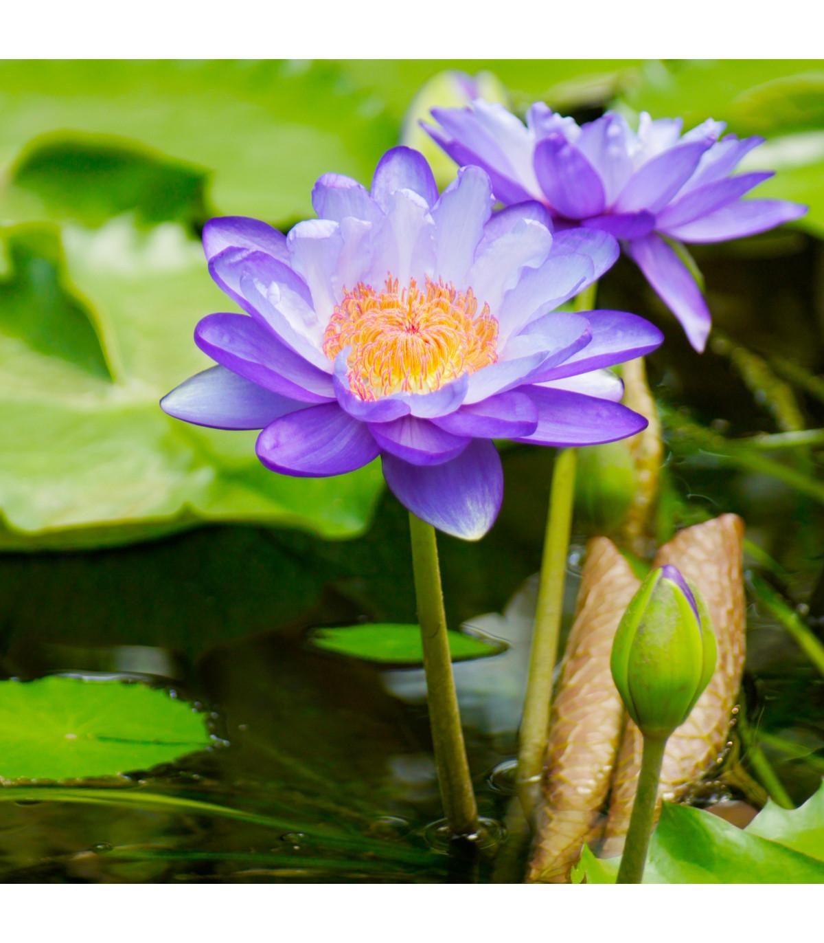 Leknín fialový - Nymphaea caerulea - semena - 6 ks