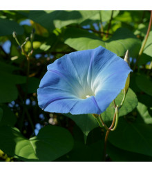Povíjnice modrá - Ipomoea rubro-coerulea - semena - 25 ks