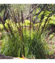 Ozdobný rákos - Gahnia filum - semena - 10 ks