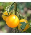 Rajče Goldkrone - Lycopersicon esculentum - semena - 10 ks