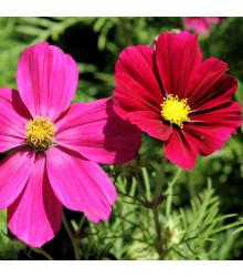 Krásenka zpeřená Sonata - Cosmos bipinnatus - semena - 20 ks